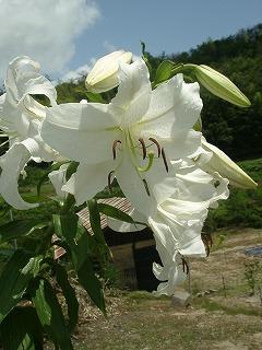 カサブランカ (植物)の画像 p1_14